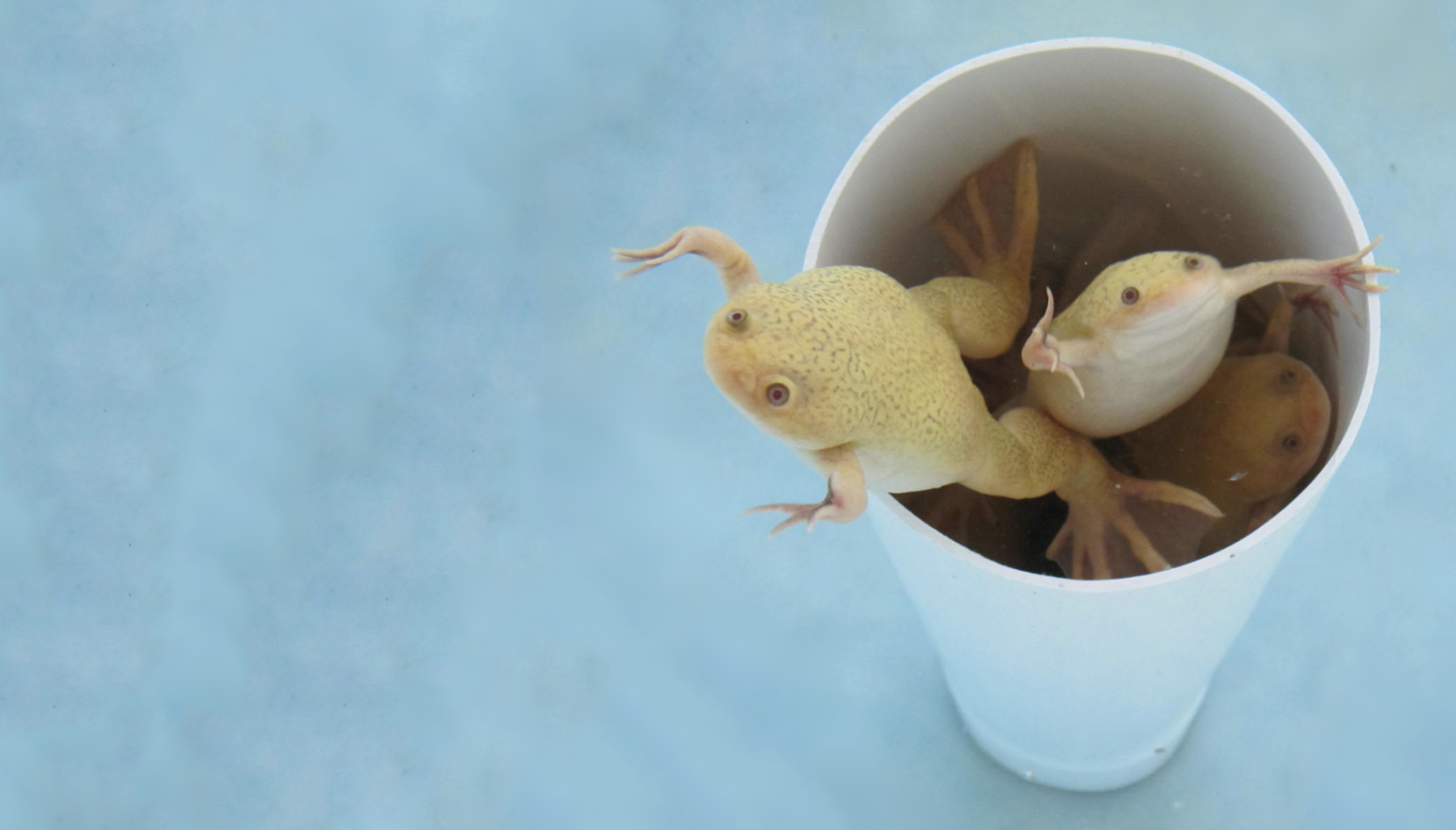 3 beige frogs swimming out of a PVC pipe